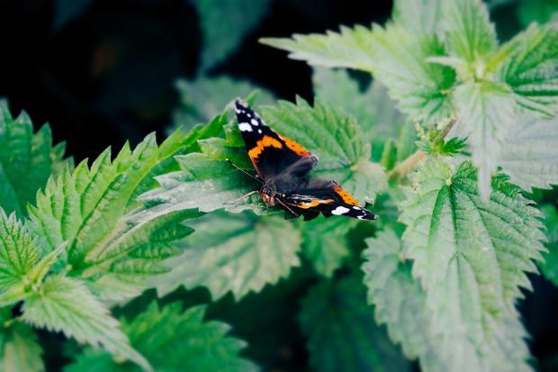 на листьях крапивы сидит яркая бабочка