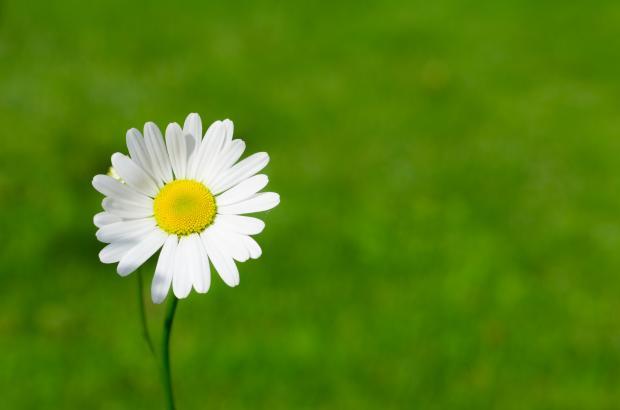 белый цветок ромашки на зеленом поле