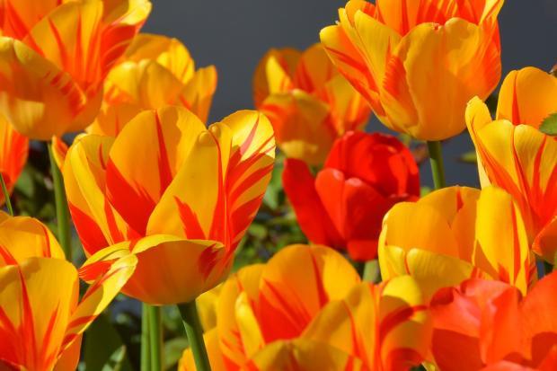 яркие цветущие тюльпаны растут