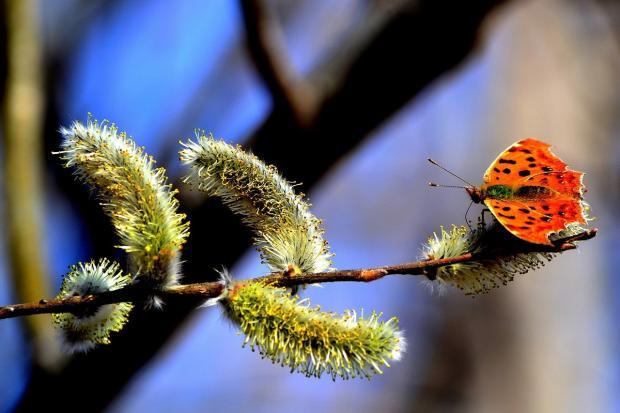 на распустившейся вербе сидит яркая бабочка