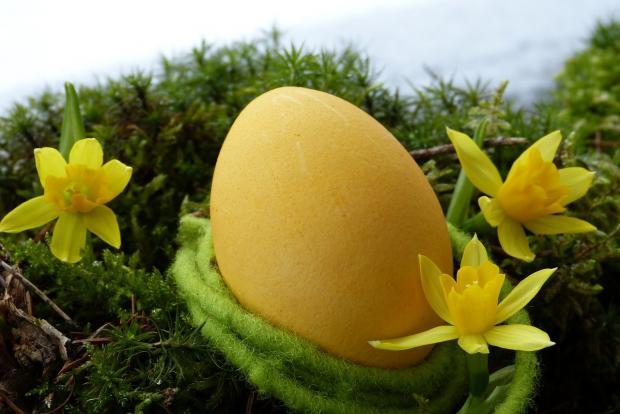лежит желтое яйцо рядом с желтыми нарциссами
