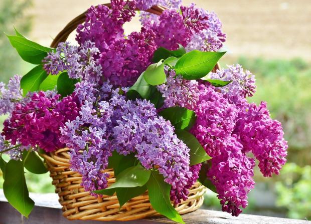 плетеная корзинка наполнена ветвями цветущей сирени