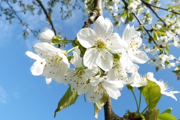 яблоня цветет на фоне голубого неба