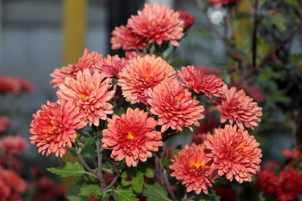 цветут домашние хризантемы