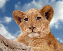 ЮАР планирует запретить разведение львов в неволе для туризма и охоты