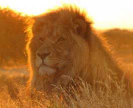 Два льва дали положительный результат на Covid-19 в индийском сафари-парке