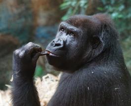 Горилла Кики проявила особый интерес к младенцу посетительницы зоопарка в Бостоне: видео