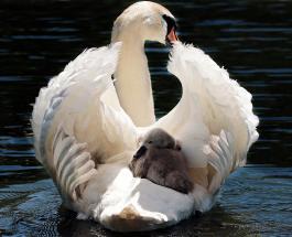 Мужчина помог лебедю спасти потомство построив плот для пернатой семьи