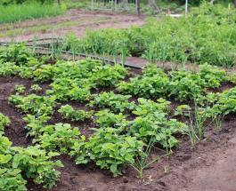 7 пар растений, которые нельзя сажать в огороде по соседству