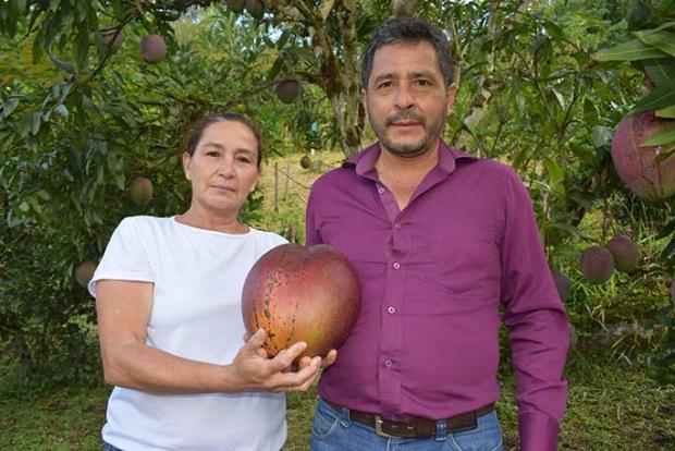 Фермеры с рекордным манго