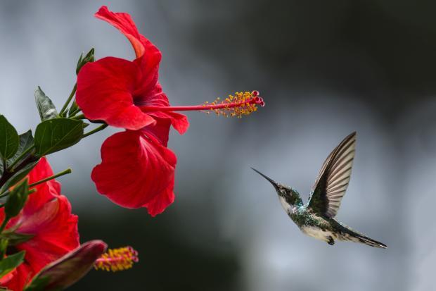 колибри возле красного цветка