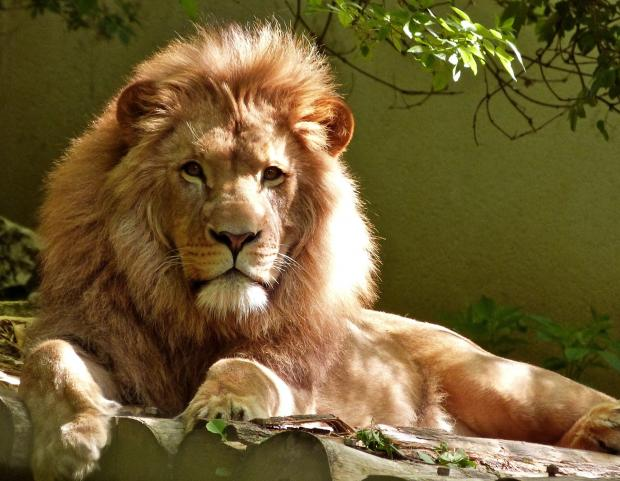 взрослый лев в заповеднике