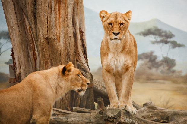 львицы в заповеднике