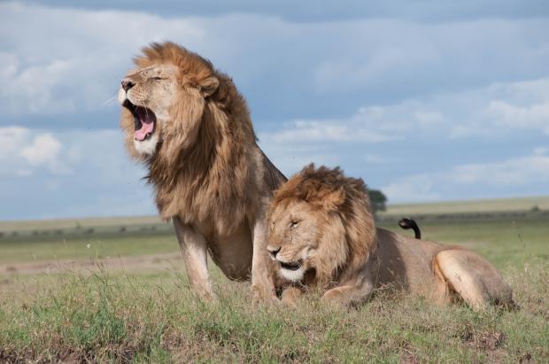 львы в дикой природе