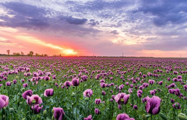 поле с тюльпанами, рассвет