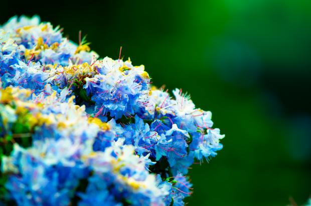 синие и белые цветы