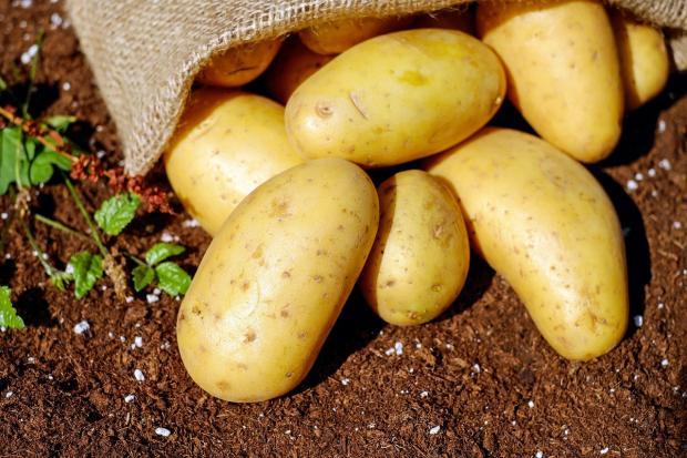 желтый картофель высыпался из мешка на землю