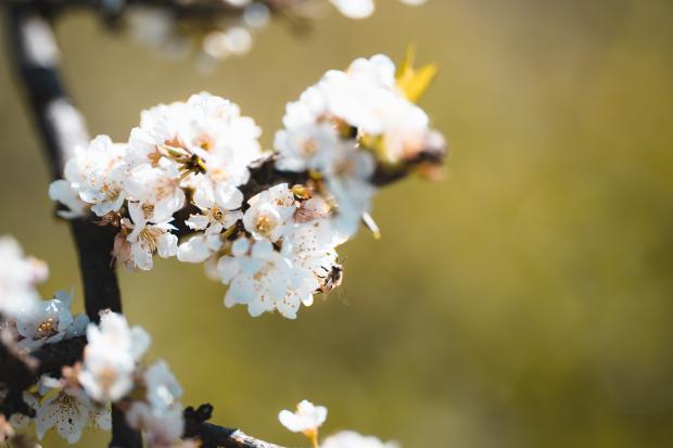цветущая ветка дерева