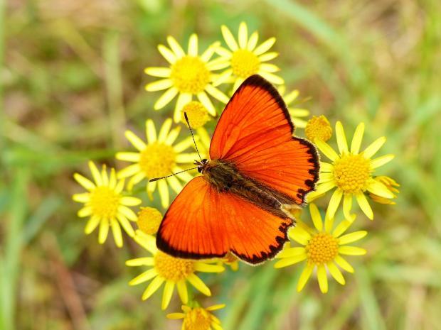 бабочка с красными крыльями сидит на желтых цветах