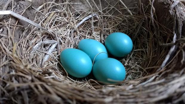 четыре голубых яйца лежат в гнезде