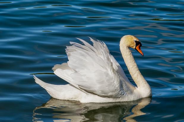 белый лебедь плывет по синей воде