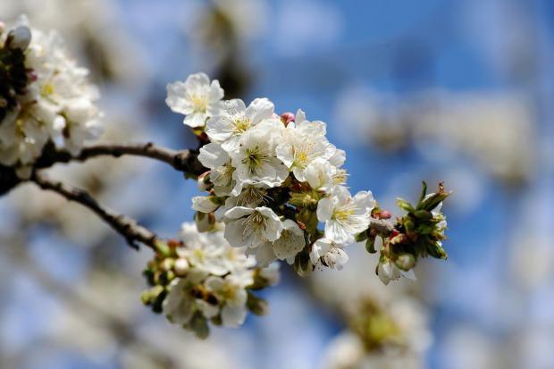 цветет белым цветом яблоня