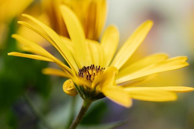 распустился яркий желтый цветок