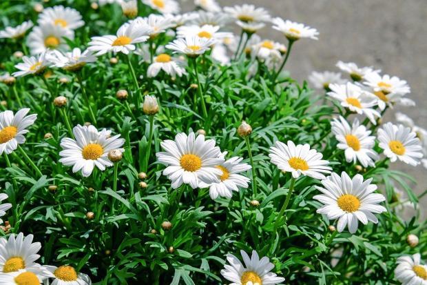 цветут белые ромашки