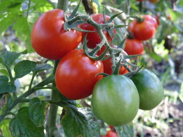 на ветке зреют помидоры