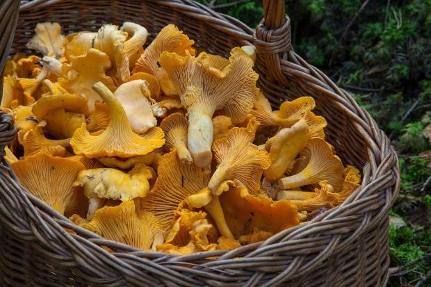 грибы лисички в корзине
