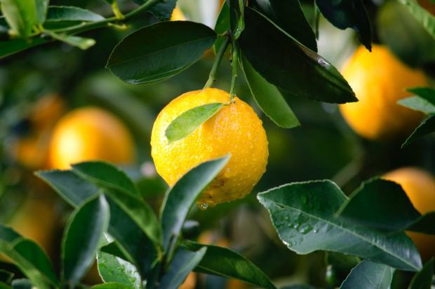 на ветвях висят желтые лимоны