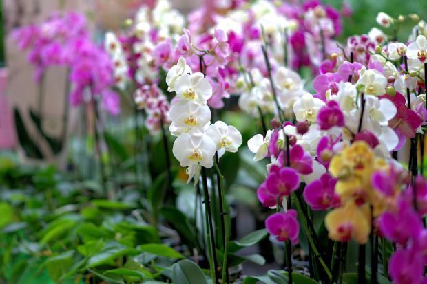 цветущие орхидеи разных цветов