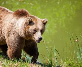 Видео неожиданной встречи дикого медведя и фотографа-натуралиста на Аляске