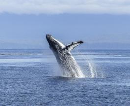 Дайвер чудом выжил после попадания в пасть огромного кита