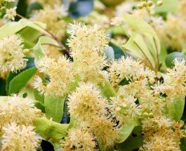 Чай и мед из липы: полезные свойства и противопоказания