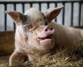 В Китае умерла самая известная в стране свинья по имени Чжу Цзяньцян