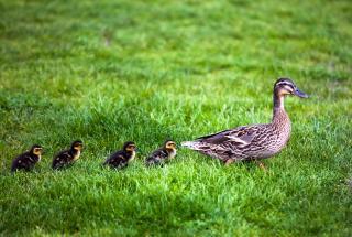 Мама-утка и 8 утят остановили движение в Бруклине и прогулялись по кондитерской – видео