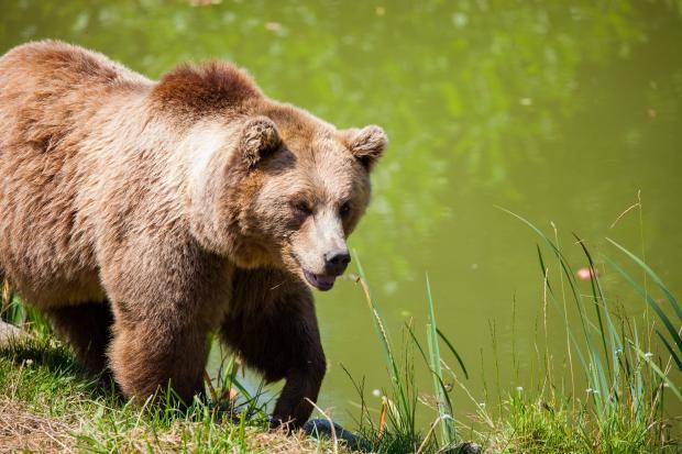 Медведь гризли у водоема