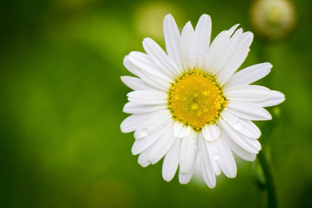 красивый цветок ромашки