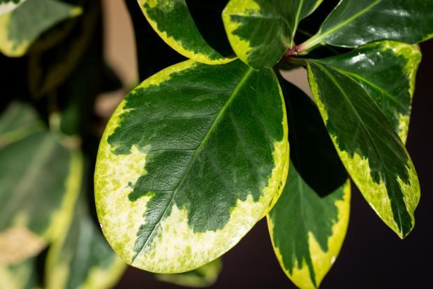 листья фикуса пожелтели
