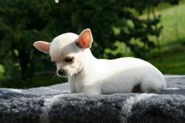 щенок породы чихуахуа
