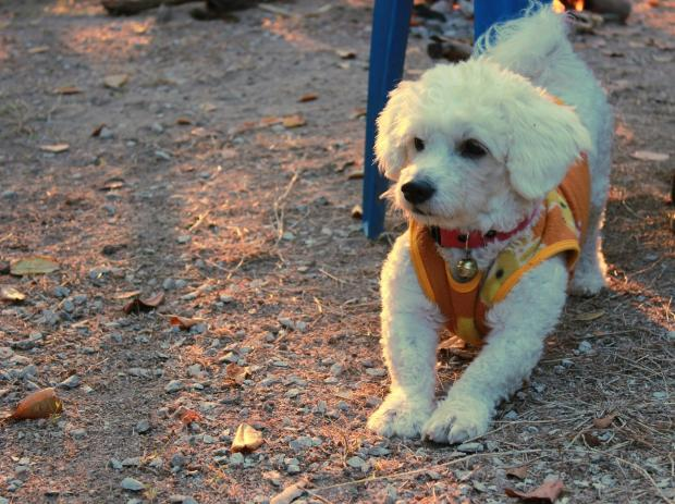 собака породы бишон-фризе