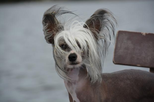 собака породы китайская хохлатая