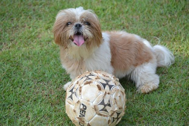 собака породы ши-тцу на траве, футбольный мяч