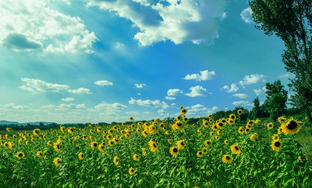 голубое небо с облаками, поле с подсолнухами