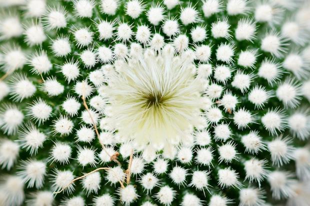 цветет кактус красивыми белыми цветами