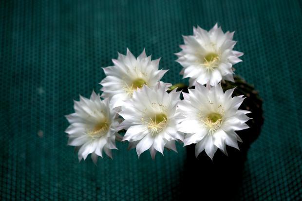 пять красивых белых цветов