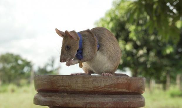 Крыса Магава