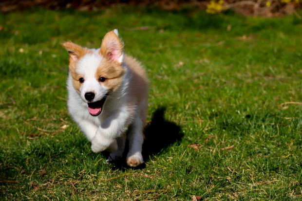 бегущая по траве собака