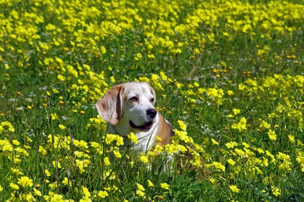 собака на цветущем лугу